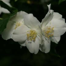 Flowers 5 Star - 23