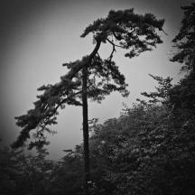 Flying Dragon Pine