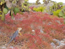 Land iguana and sea gras — yellow in red