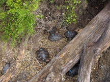 Bay tortoises—count 'em