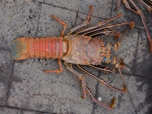 Local lobster—large for $25
