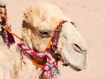 One of the camels that can be ridden by visitors—not recommended these days