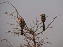Pair of Yellow-billed Hornbills