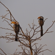 Pair of Yellow-billed Hornbills