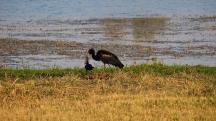 Open-billed Stork
