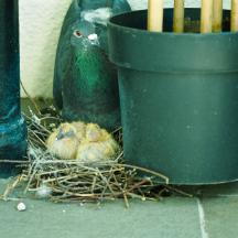 Balcony Pigeons - 1 of 6