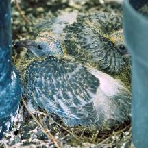 Balcony Pigeons - 6 of 6