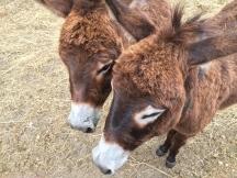 Donkeys at Pontet Canet